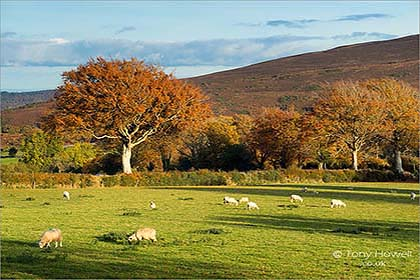 Beech-Tree-Sheep-Exmoor-Autumn-AR485