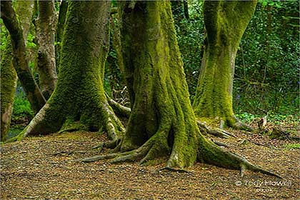 Trees-Tehidy-Woods-Cornwall