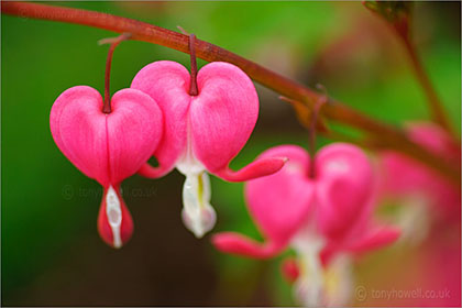Dicentra - Bleeding Hearts