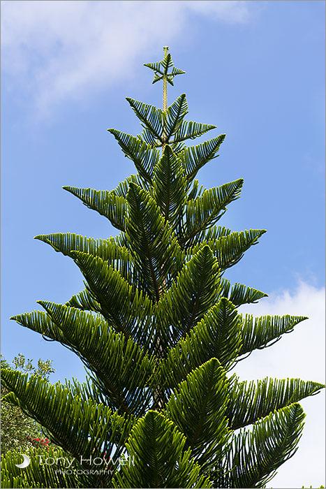 Norfolk Island Tree