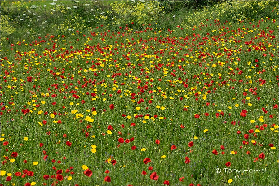 Poppies, Corn Marigolds near Polly Joke Beach