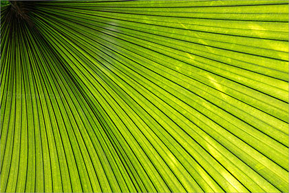 Palm Leaf, Kew