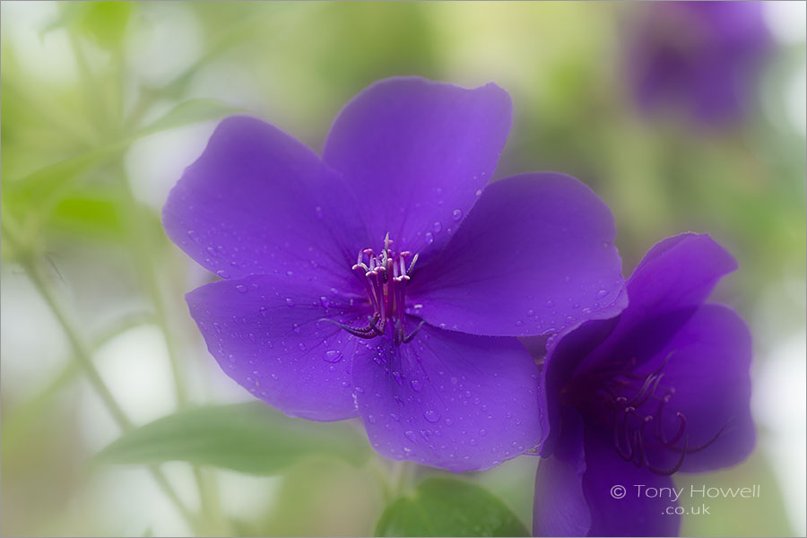 Tibouchina urvilleana - Glory Bush