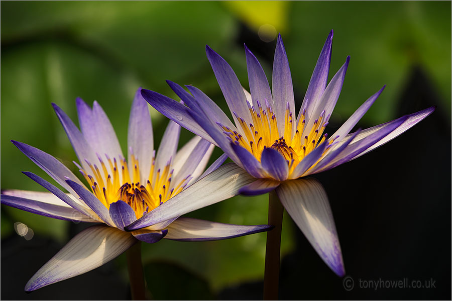 Waterlily Nelumbo