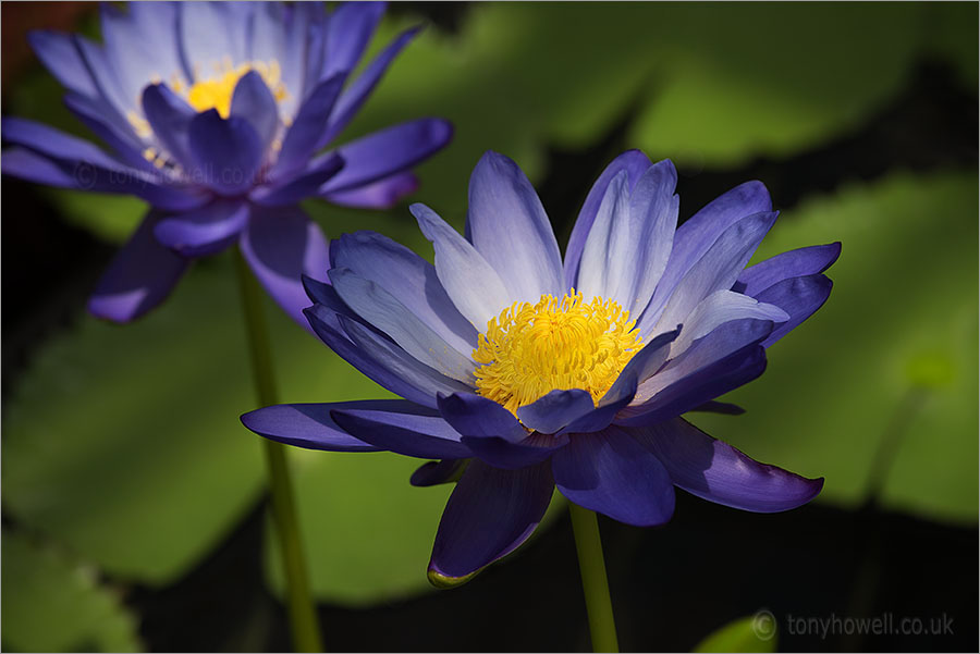 Waterlily Nymphaea