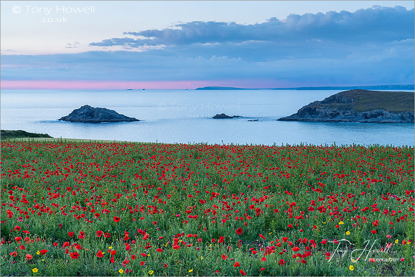 West Pentire Poppies