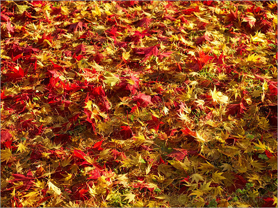 Acer leaves, Autumn