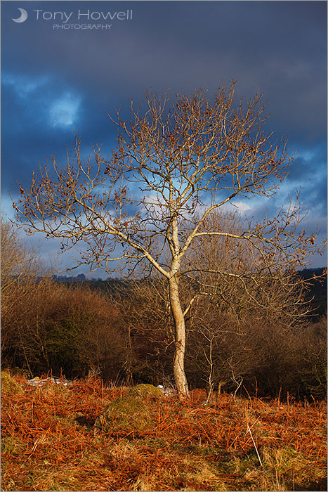 Ash Tree, Cheddar Gorge
