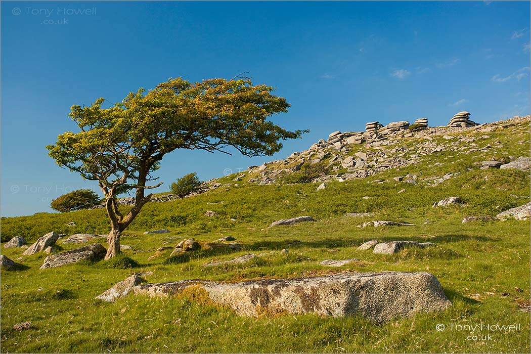 Hawthorn Tree, The Cheesewring, Bodmin Moor