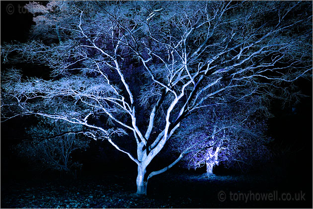 Illuminated Japanese Maple Tree
