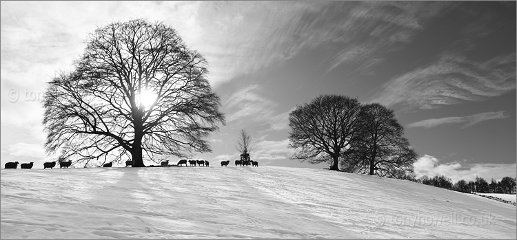 Trees, Sheep, Snow, Miserden, The Cotswolds