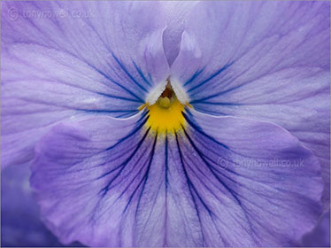 Pansy, close up