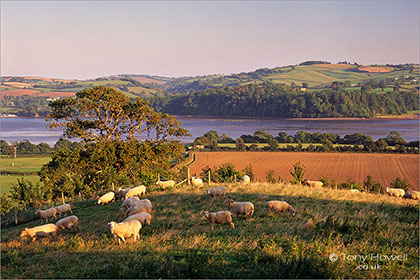 Sheep, River Teign