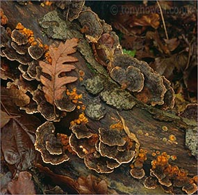 Oak Leaf, Bracket Fungus